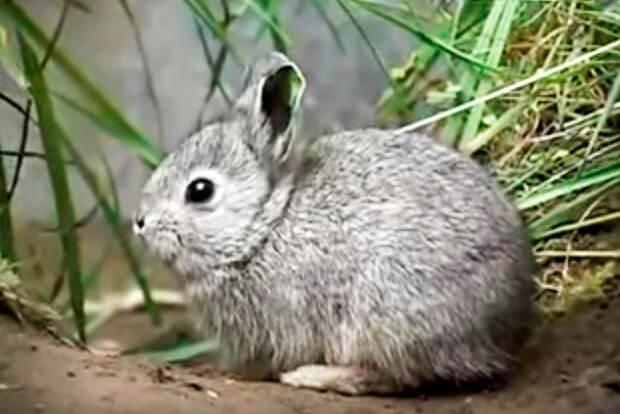 Внешний вид айдахского кролика