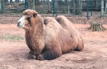 Двугорбый верблюд, или бактриан