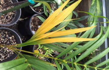 Дипсис желтоватый