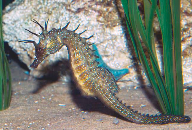 Длиннорылый морской конек возле растения