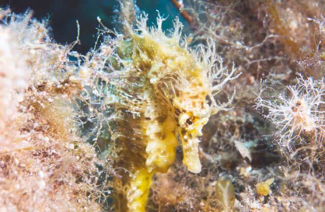 Длиннорылый морской конек фото