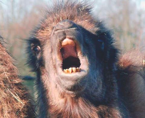 Крик двугорбого верблюда