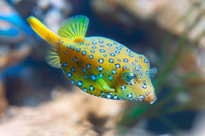Токсичная рыба кузовок-кубик