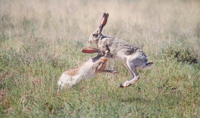 Бой антилоповых зайцев