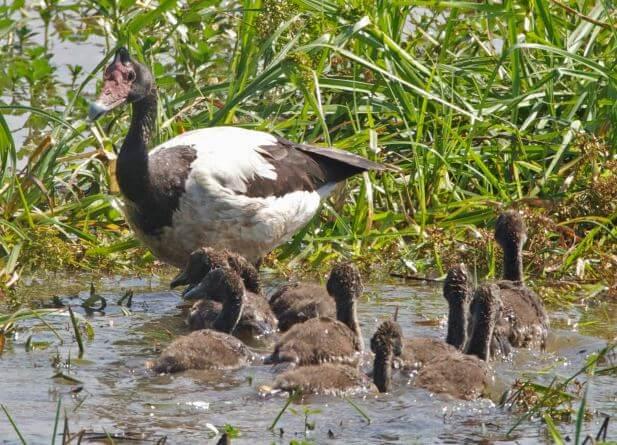Семейство полулапчатых гусей