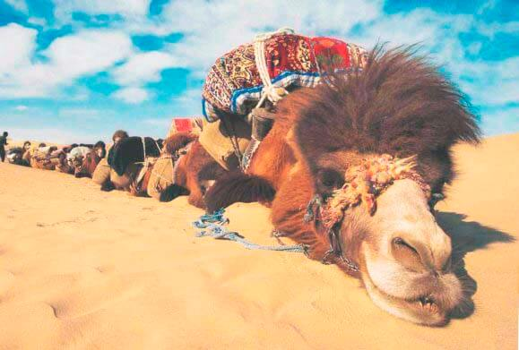 Отдых двугорбых верблюдов