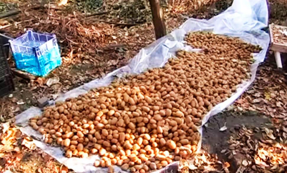 Богатый урожай киви