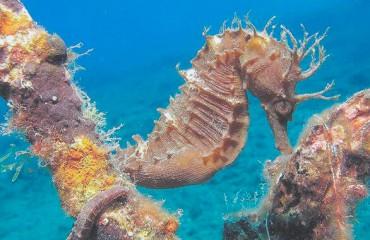Длиннорылый морской конек