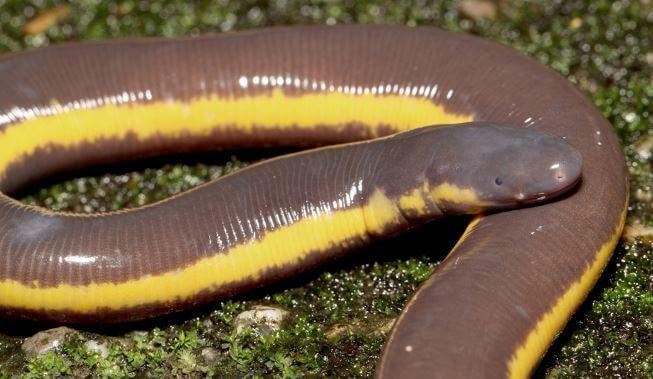 Желтополосый рыбозмей фото