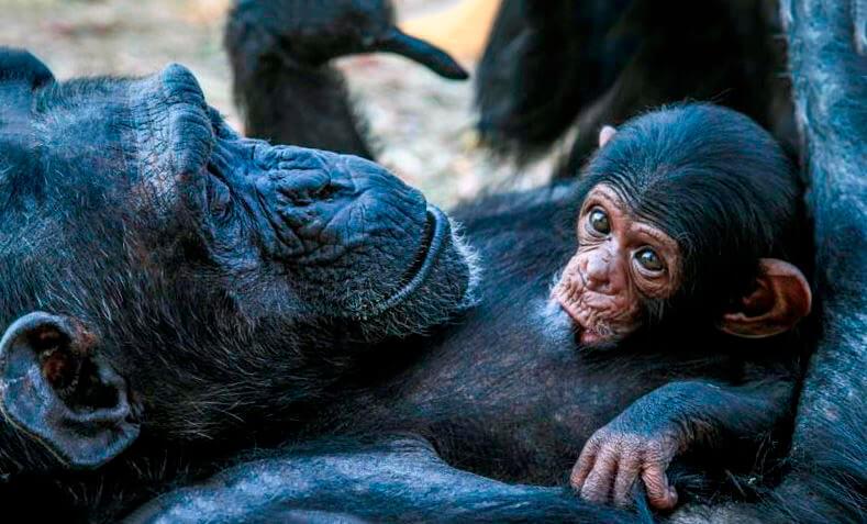 Самка шимпанзе обыкновенного кормит малыша