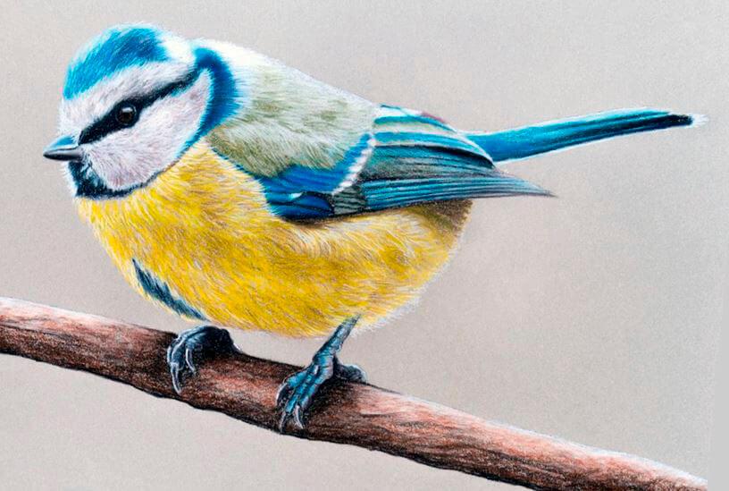 Картинка с синицей лазоревкой