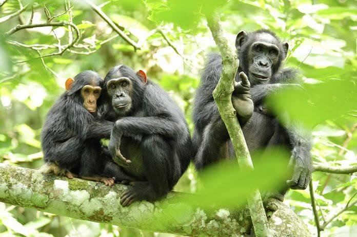 Отдых шимпанзе обыкновенных