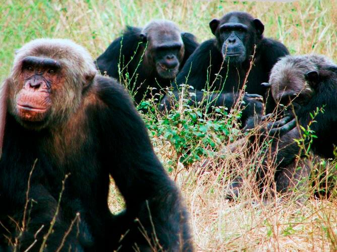 Воинствующие шимпанзе обыкновенные