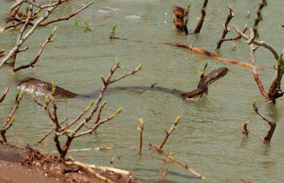 Гюрза плывущая по воде