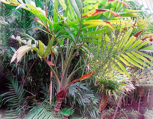 Произрастание хамедореи изящной в саду