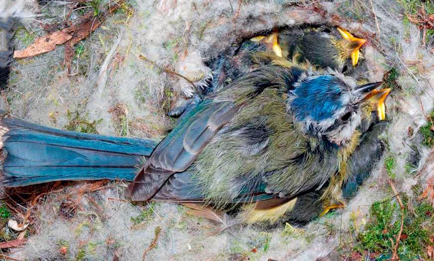 Гнездо синицы лазоревки