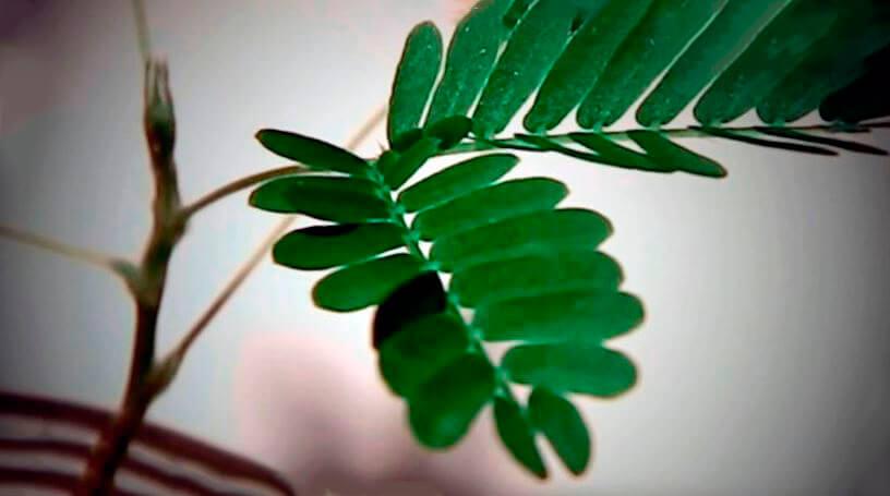 Листья мимозы стыдливой