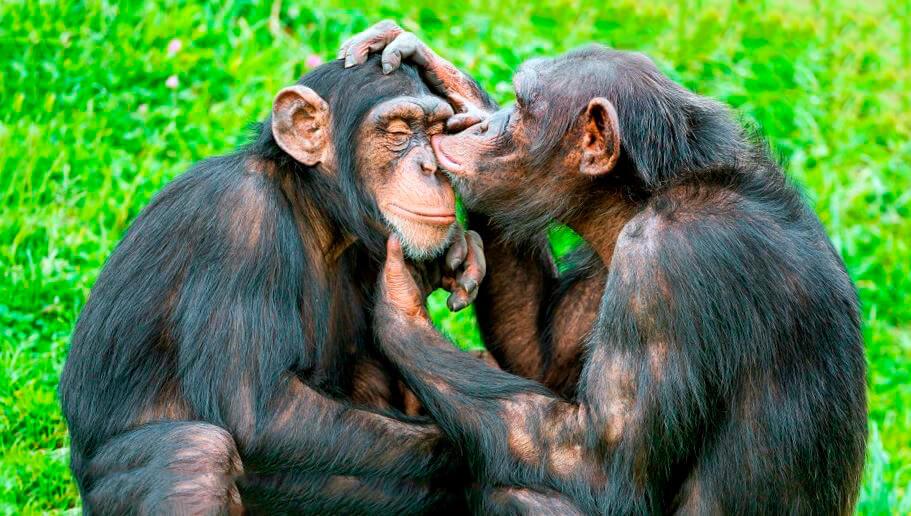 Нежность шимпанзе обыкновенных