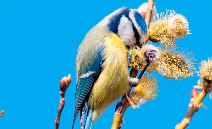 Обыкновенная лазоревка фото