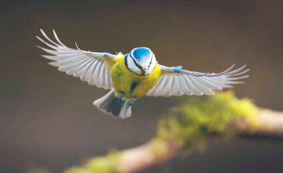 Полёт синицы лазоревки