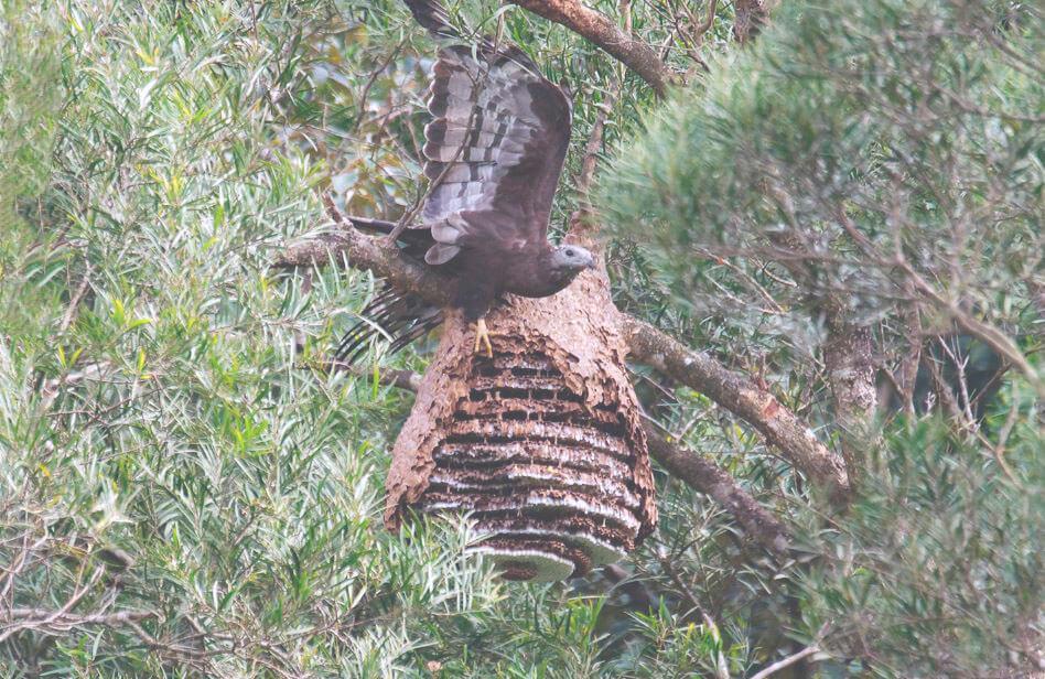 Осоед возле осиного гнезда