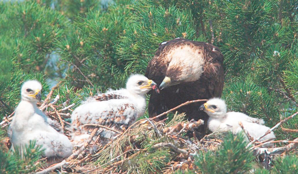 Гнездо осоеда