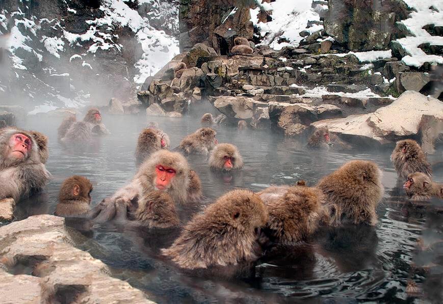 Японские макаки в парке обезьян Джигокудани