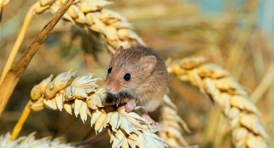 Пшничный колосок с мышью-полевкой