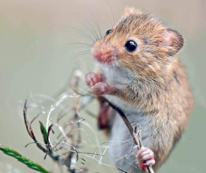Полевая мышь взобралась на веточку