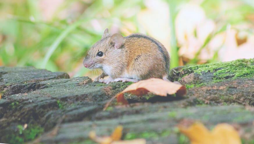 Картинка с полевой мышью