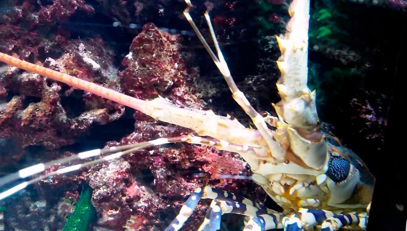 Лангуст украшенный в аквармуме