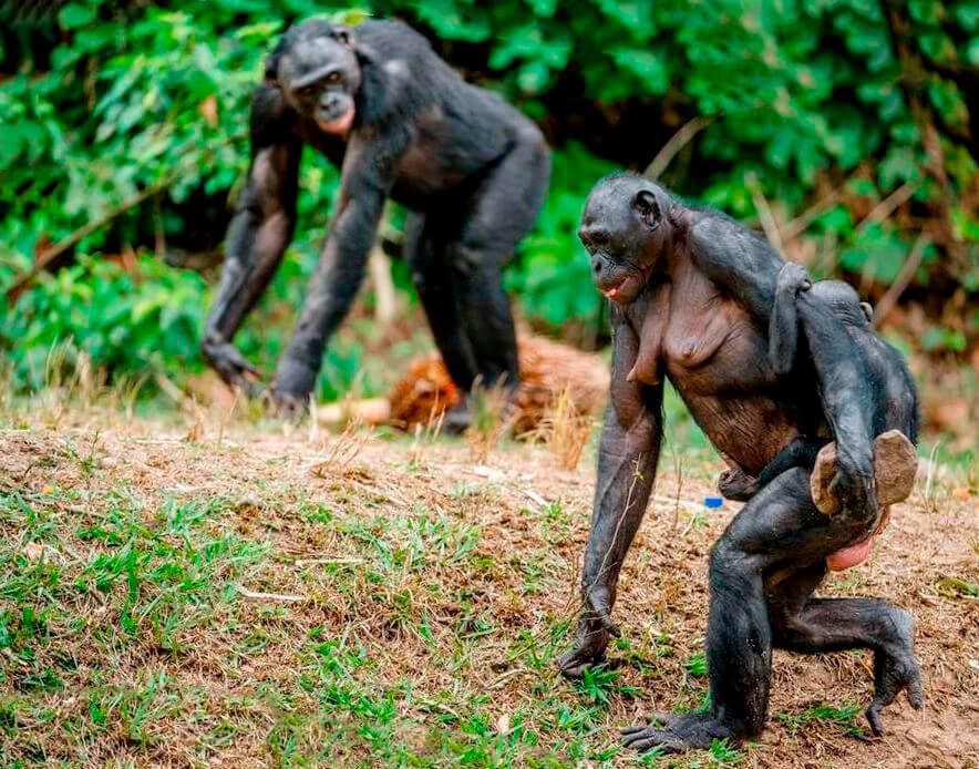 семейка шимпанзе обыкновенных