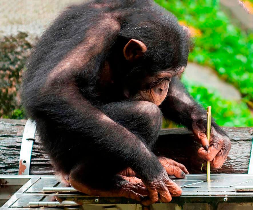 Применение палки шимпанзе обыкновенным