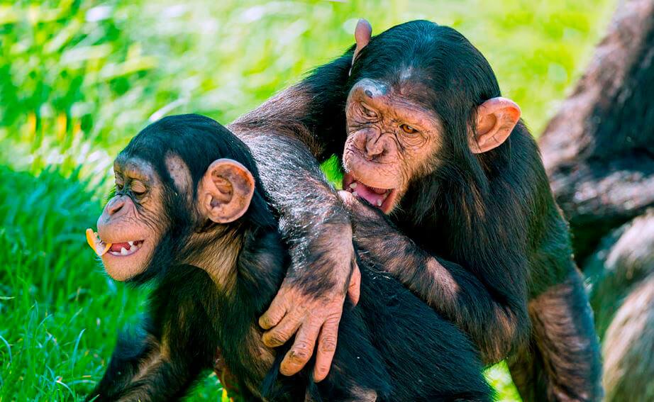Шимпанзе обыкновенный фото