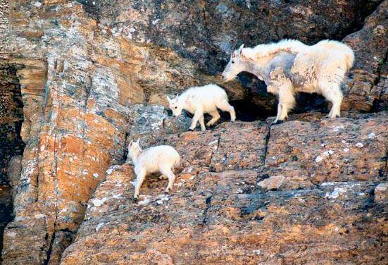 Снежная коза с козлятами