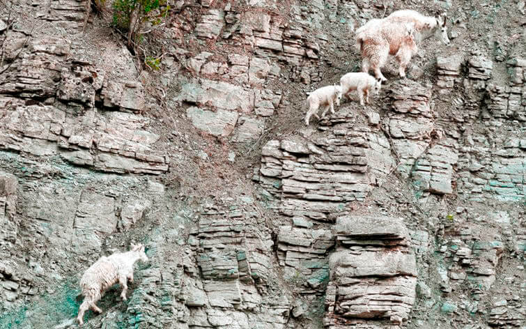 Группа снежных коз в горах