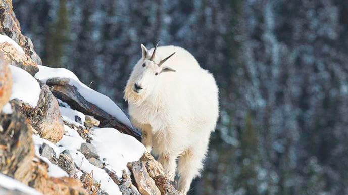 Продвижение снежной козы по скалам