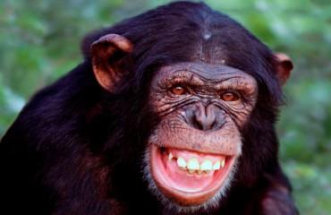 Шимпанзе обыкновенный
