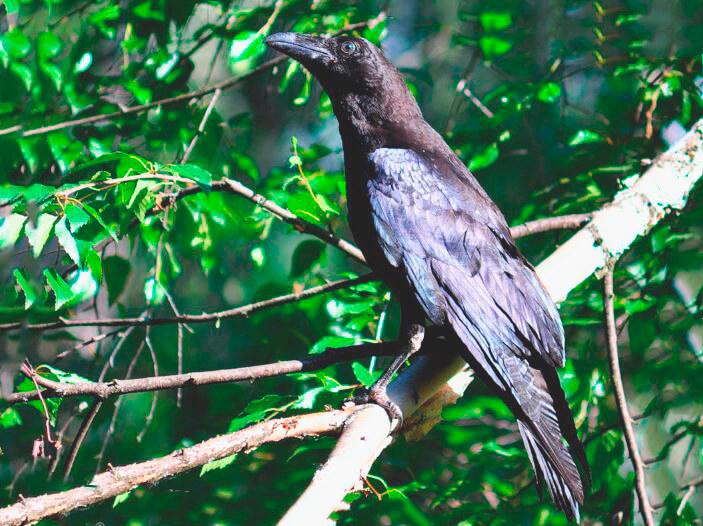 Чёрный ворон из мифологии