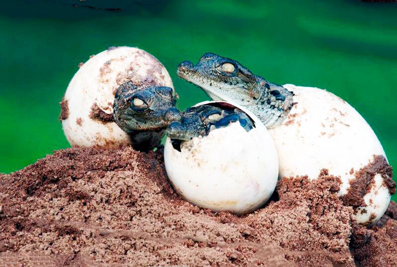Яйца западноафриканского крокодила