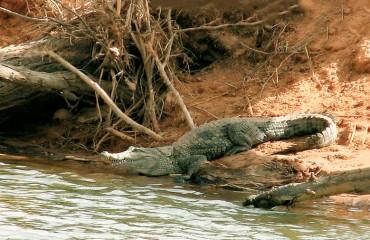 Западноафриканский крокодил