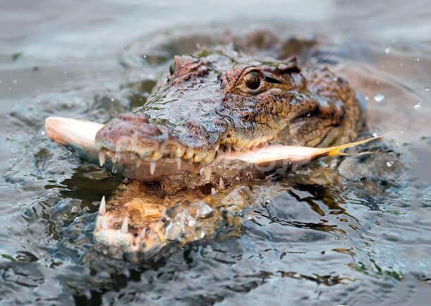 Рыба пойманная западноафриканским крокодилом