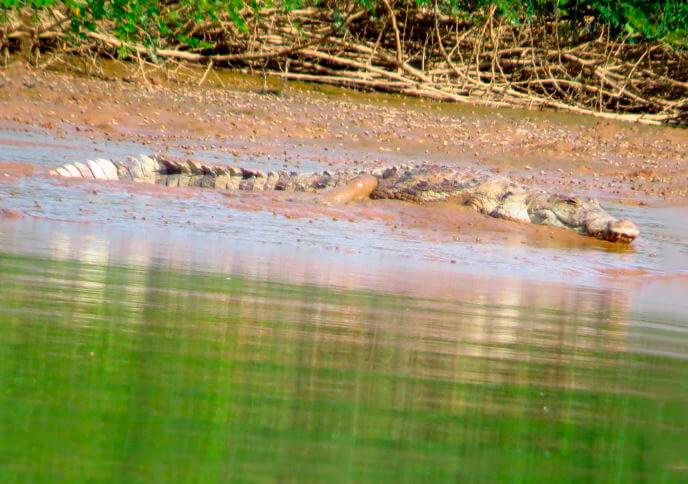 Погружение под воу западноафриканского крокодила