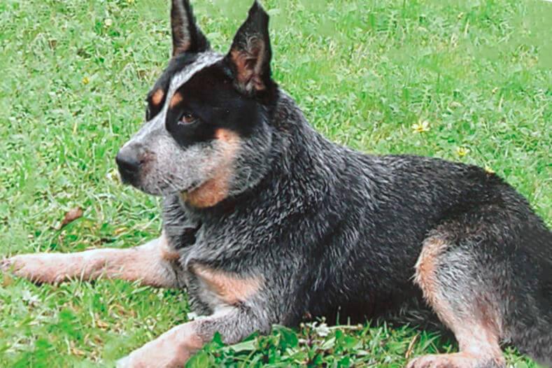 Фото австралийской пастушьей собаки