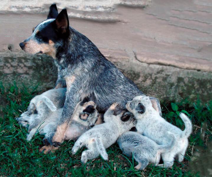 Австралийская пастушья собака со щенками