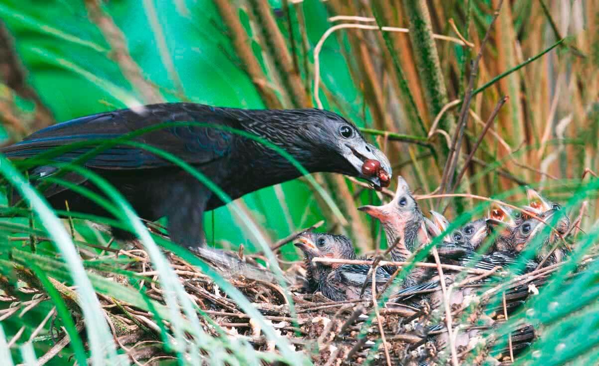 Кормление птенцов бороздчатоклювым ани