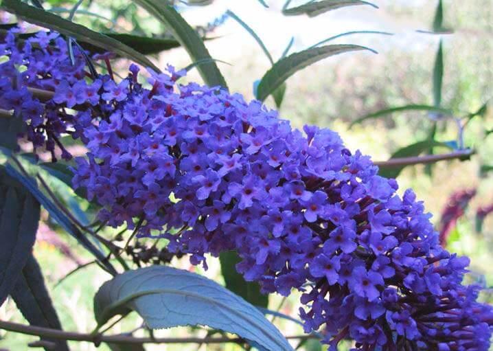 Синий цветок Buddleja davidii
