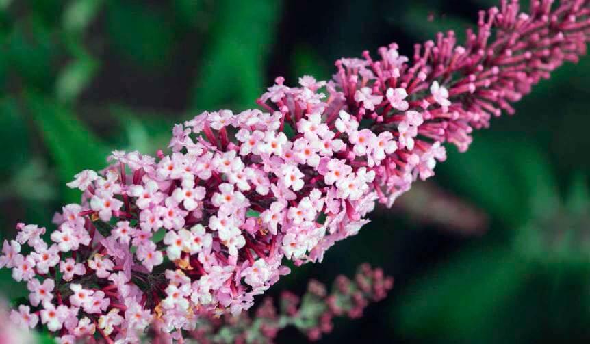 Розовое соцветие буддлеи Давида