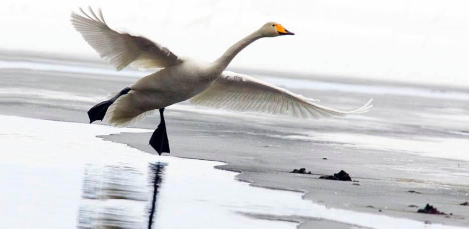 Взлёт лебедя-кликуна