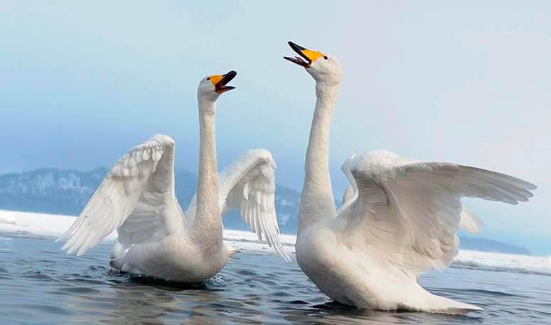 Пара лебедей-кликунов